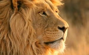 lion-06